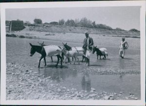 Donkeys crossing a river near Fefer in Afghanistan